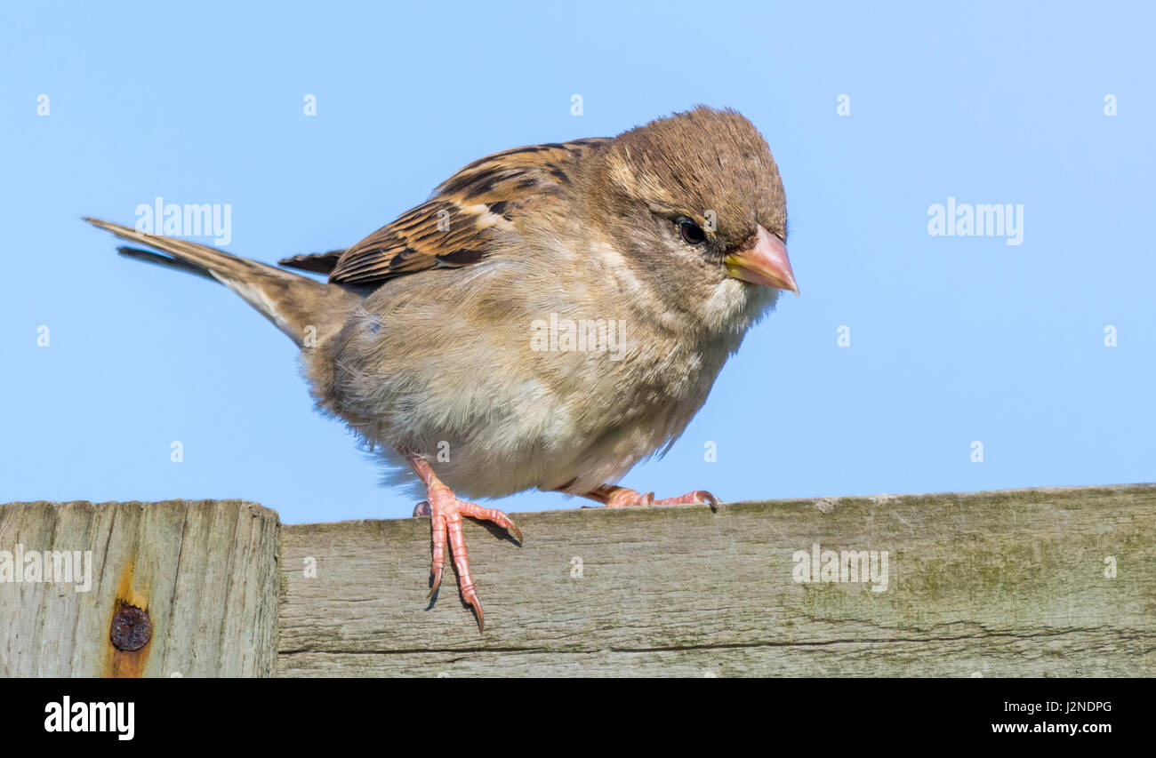 adult-female-house-sparrow-passer-domest