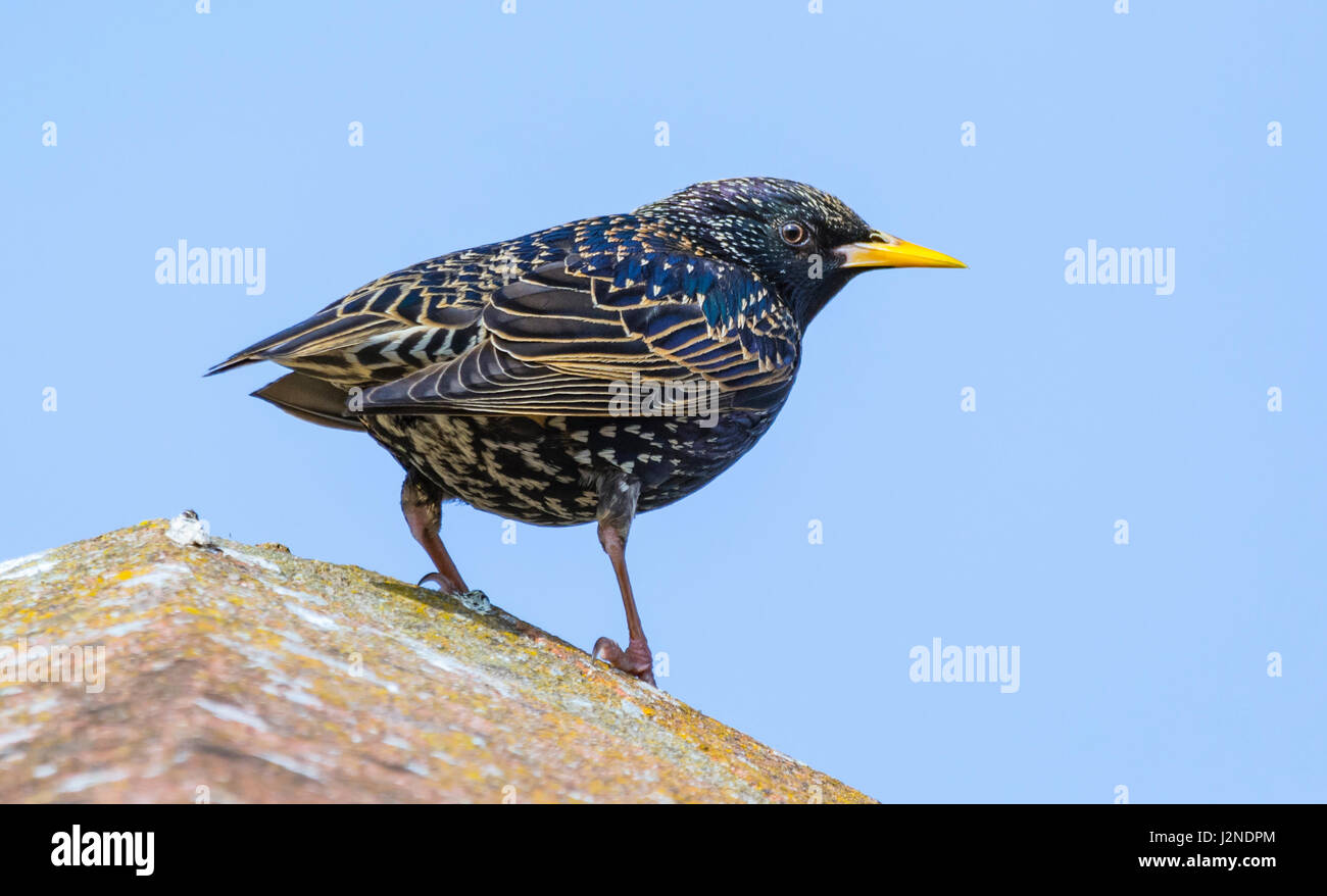 adult-female-common-starling-sturnus-vul