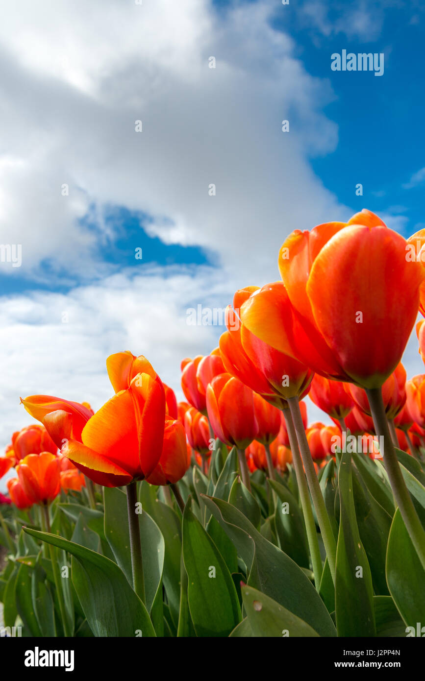 Beautiful orange tulips against a blue sky in the Netherlands Stock Photo