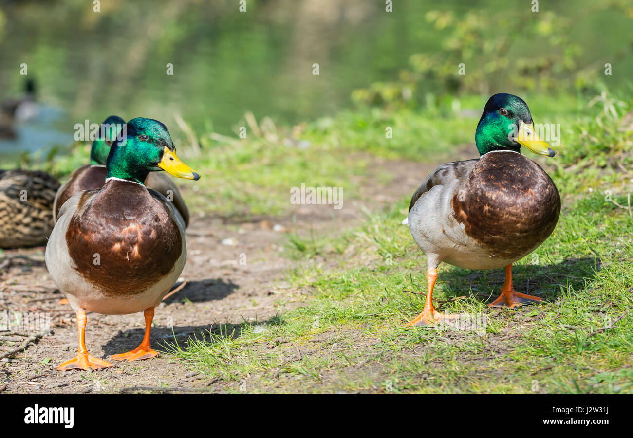 mallard-ducks-pair-of-drake-mallard-duck