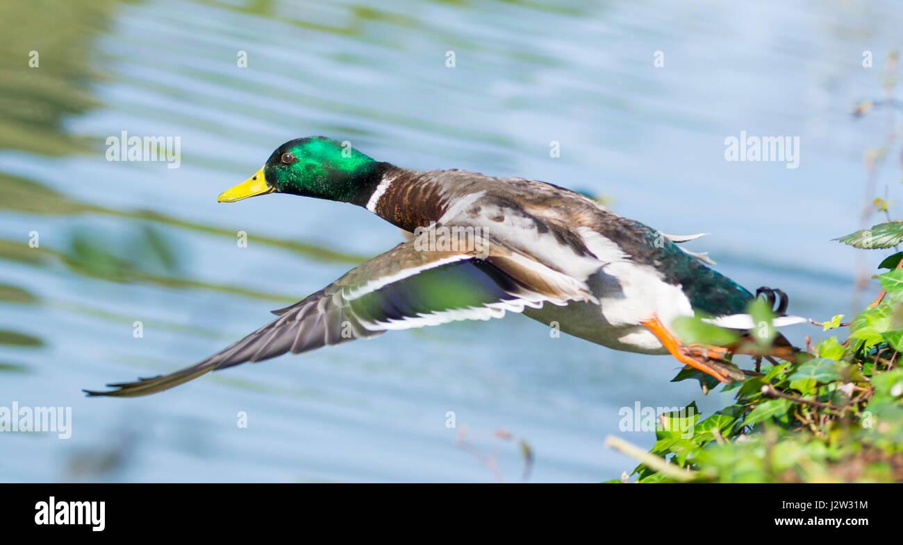 male-mallard-duck-drake-mallard-duck-ana