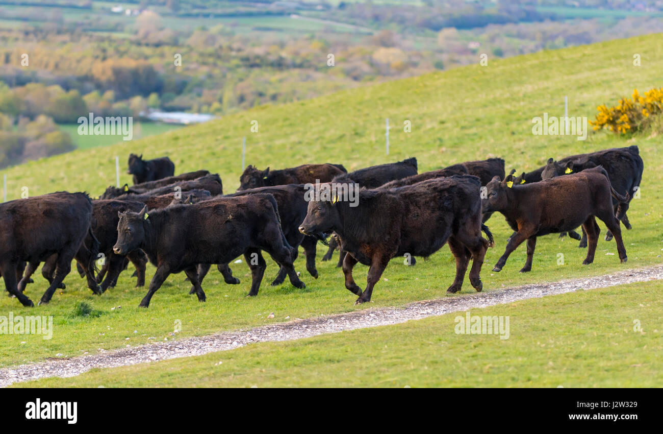 herd-of-cows-running-across-a-field-J2W3