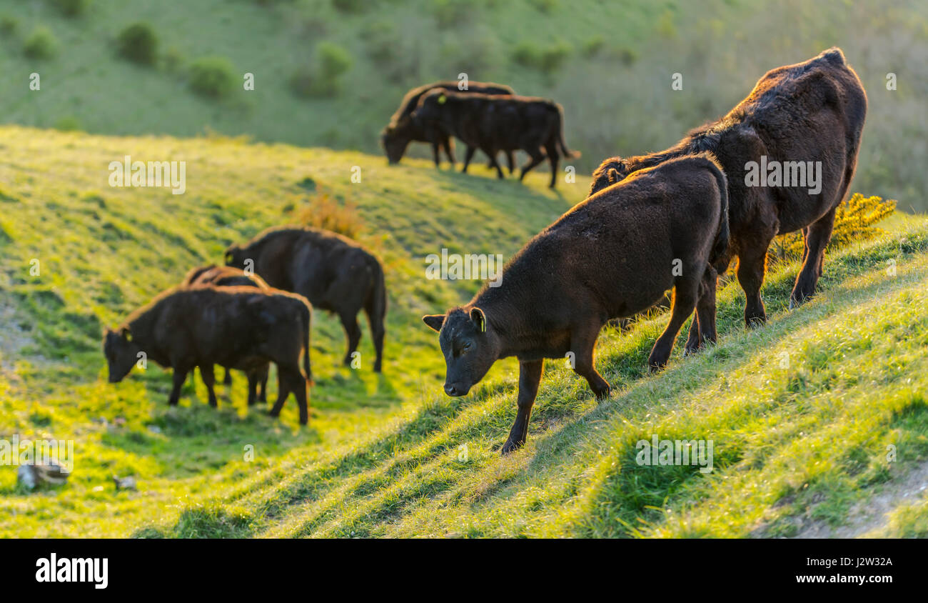small-herd-of-cows-standing-on-a-hill-in