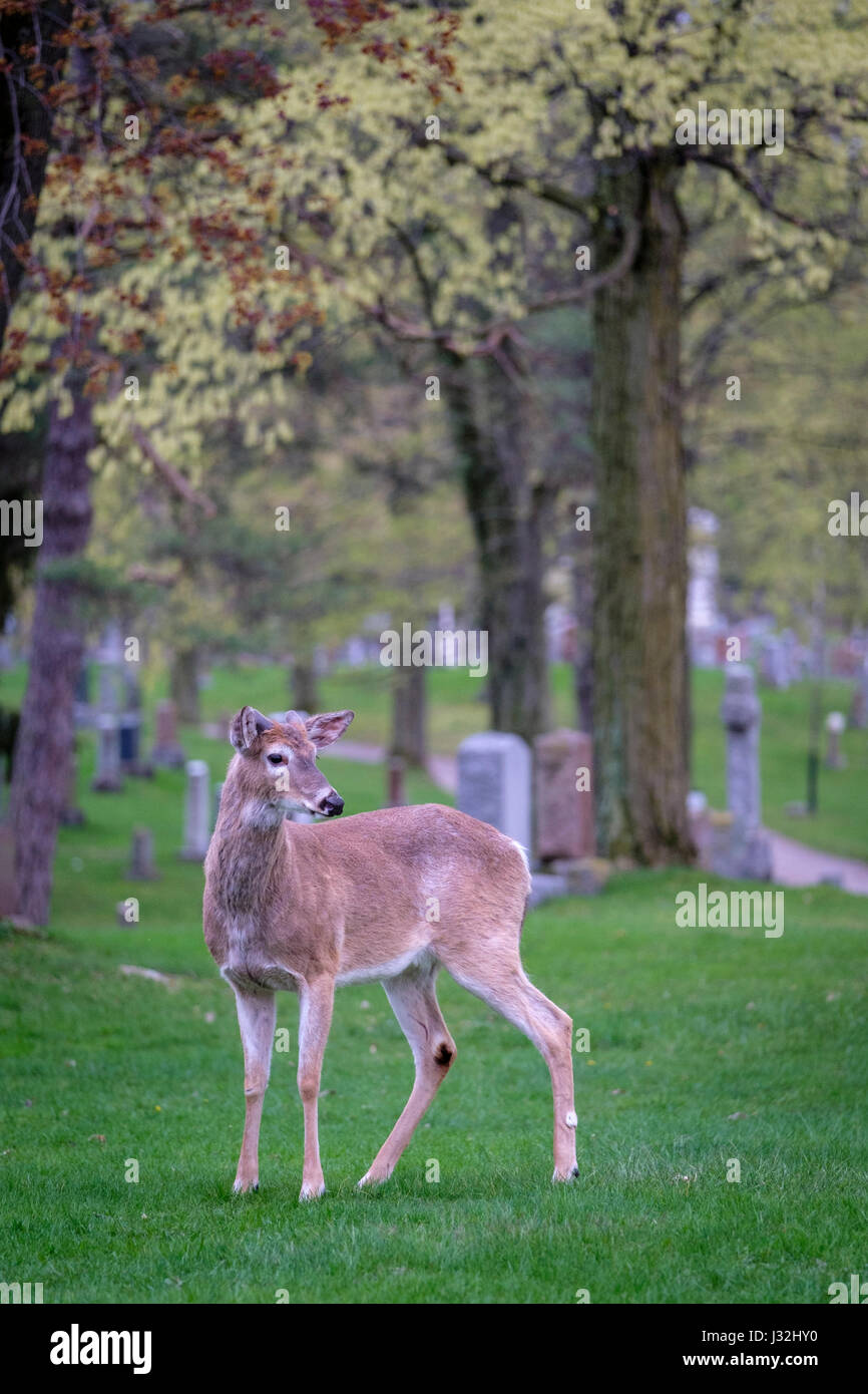 young-male-white-tailed-deer-odocoileus-