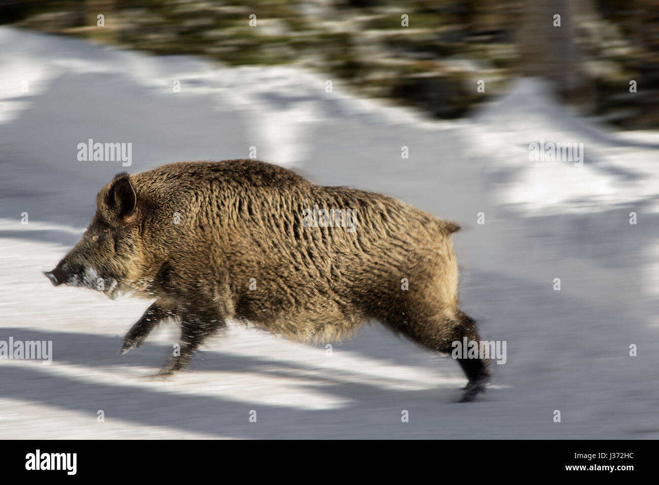 wild-boar-sus-scrofa-crossing-forest-roa