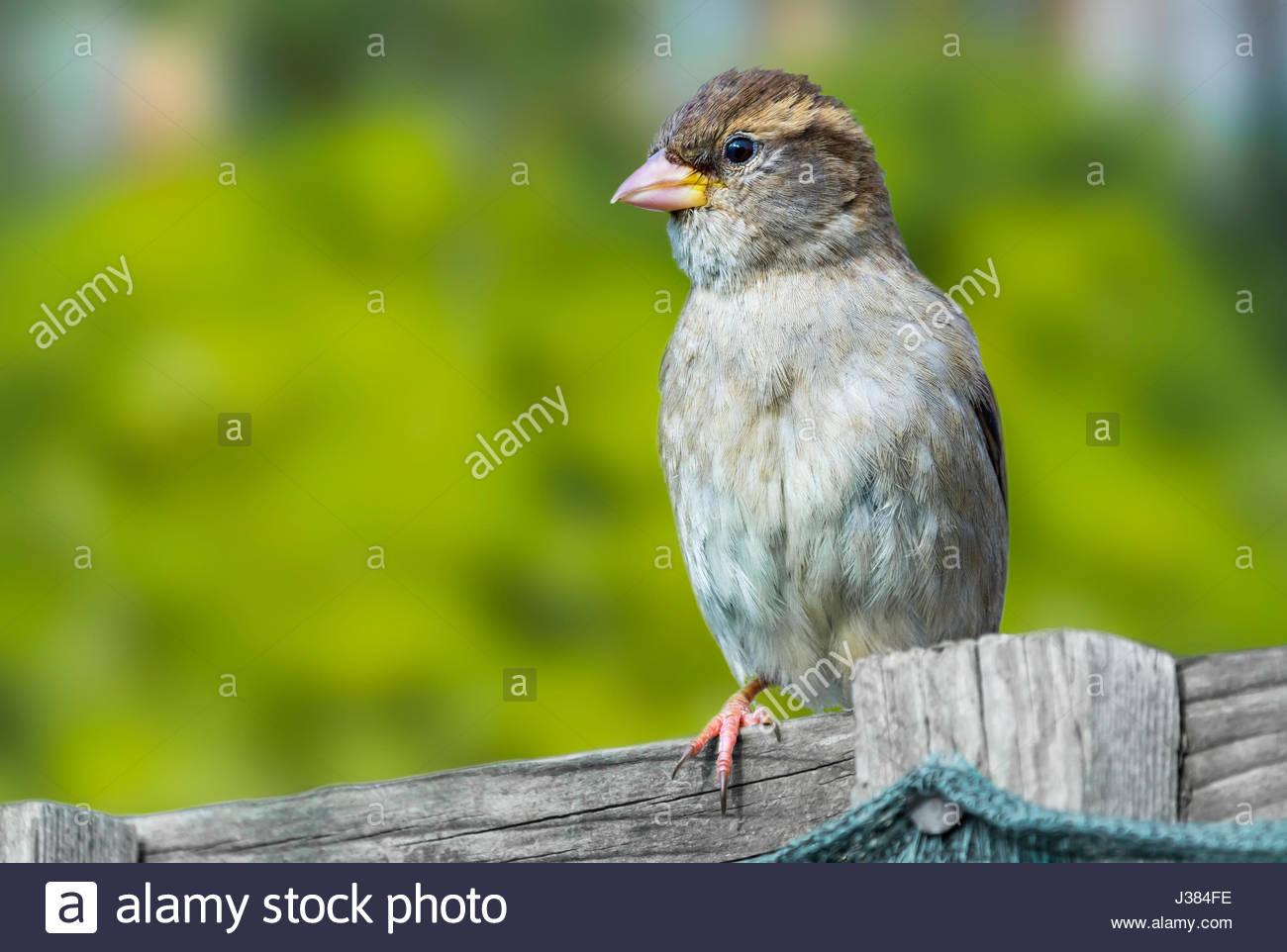 juvenile-house-sparrow-passer-domesticus