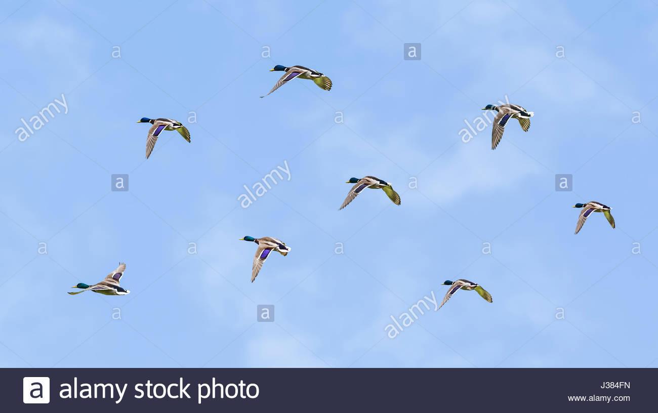 flock-of-male-mallard-ducks-flock-of-dra
