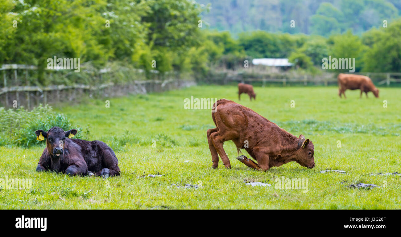 cows-in-a-field-with-one-cow-attempting-
