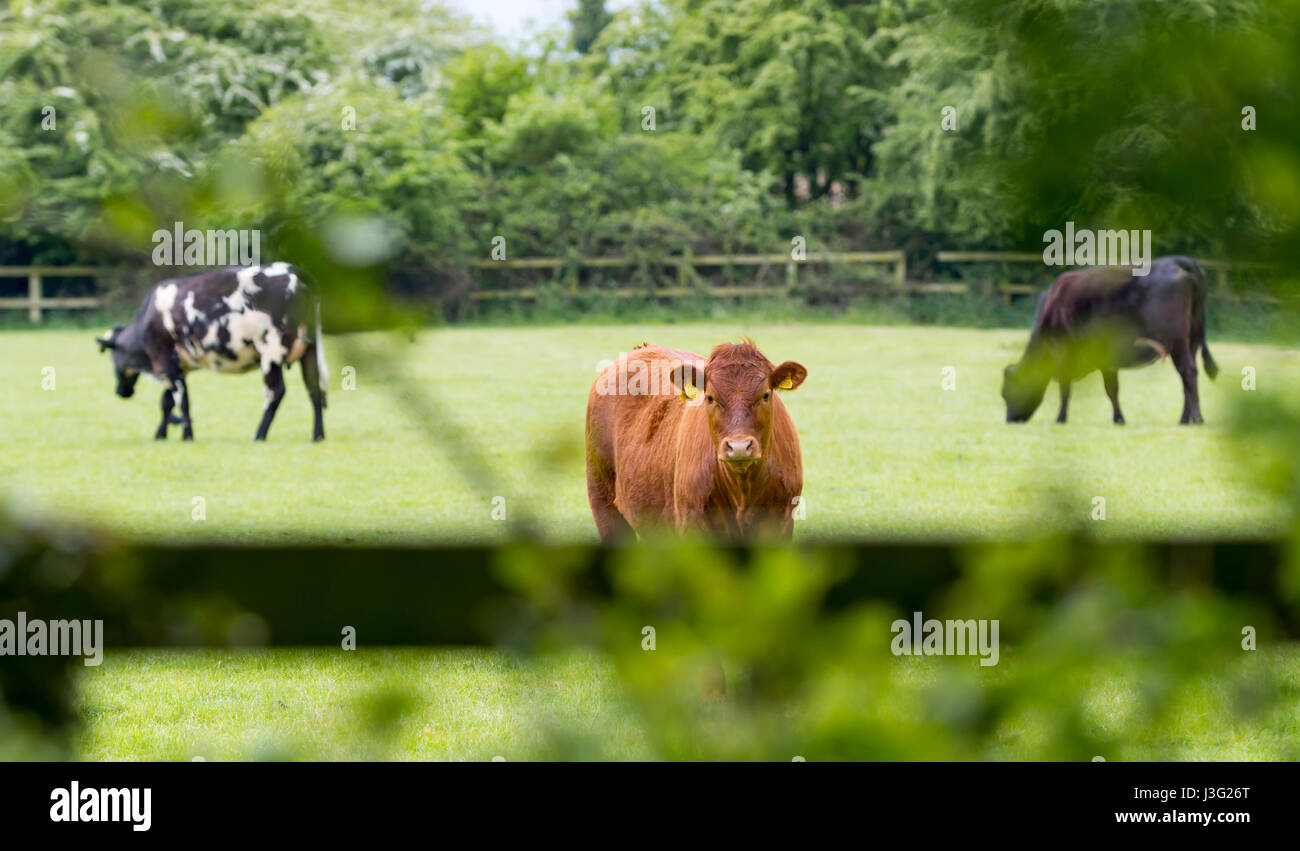 brown-cow-looking-over-a-fence-J3G26T.jp