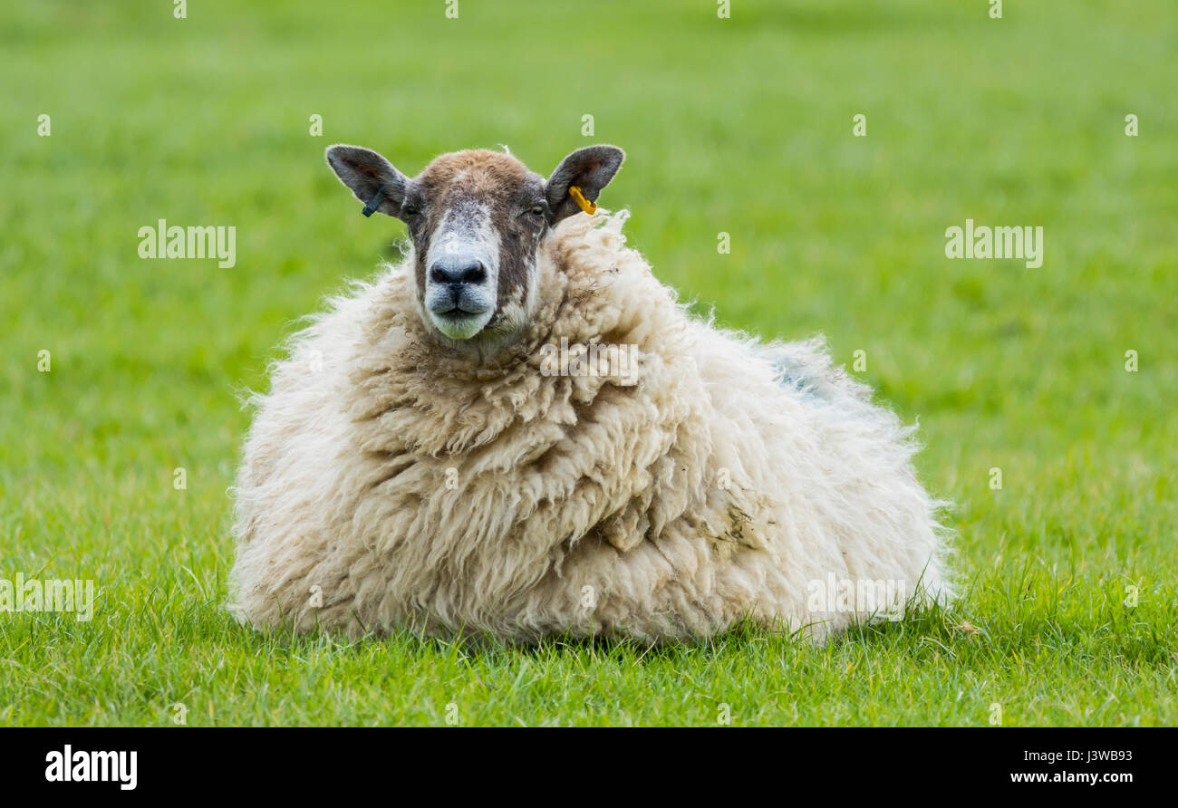 sheep-ewe-sitting-on-grass-relaxing-alon