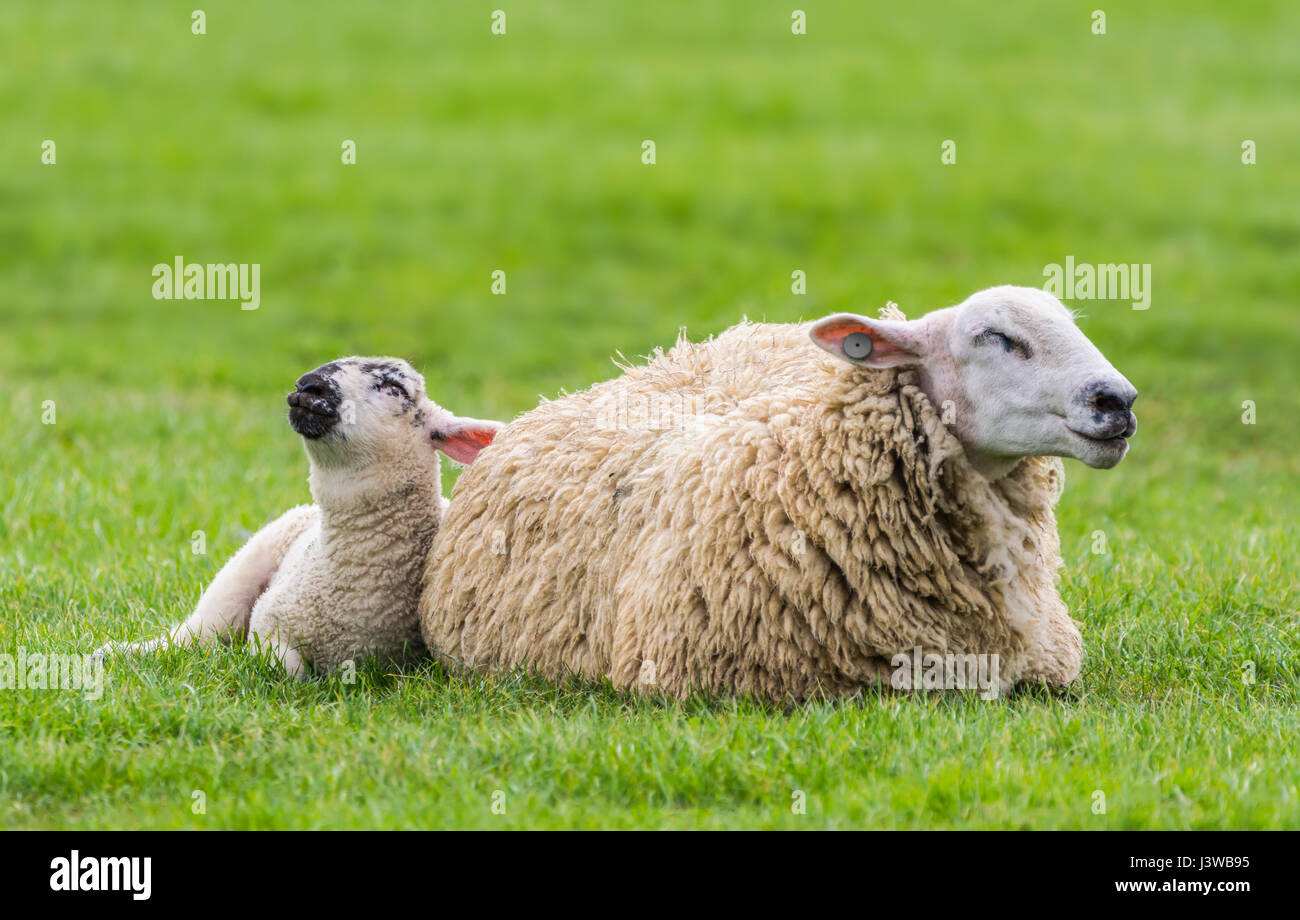 a-sheep-and-lamb-in-a-field-dozing-looki