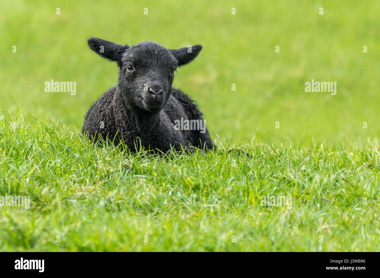 taking-a-break-concept-black-lamb-restin