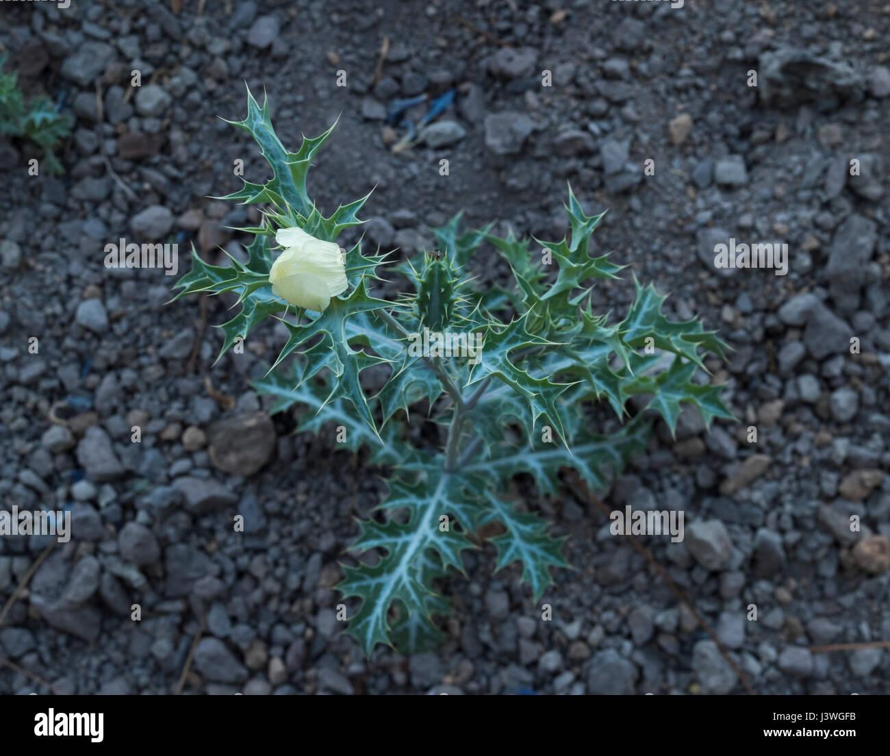 unknown-plant-awaiting-id-flowering-by-the-roadside-near-ifonche-tenerife-J3WGFB.jpg
