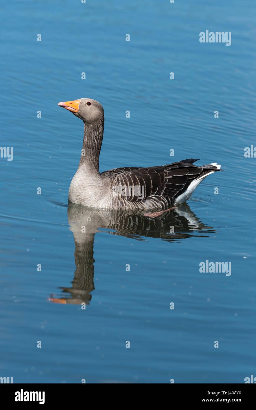 greylag-goose-portrait-image-J408Y0.jpg