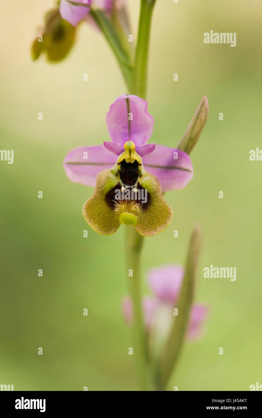 sawfly-orchid-ophrys-tenthredinifera-sub