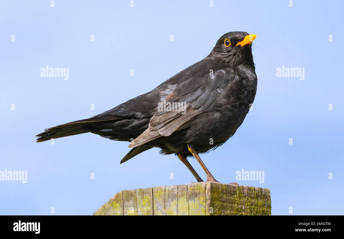 common-blackbird-turdus-merula-perched-o