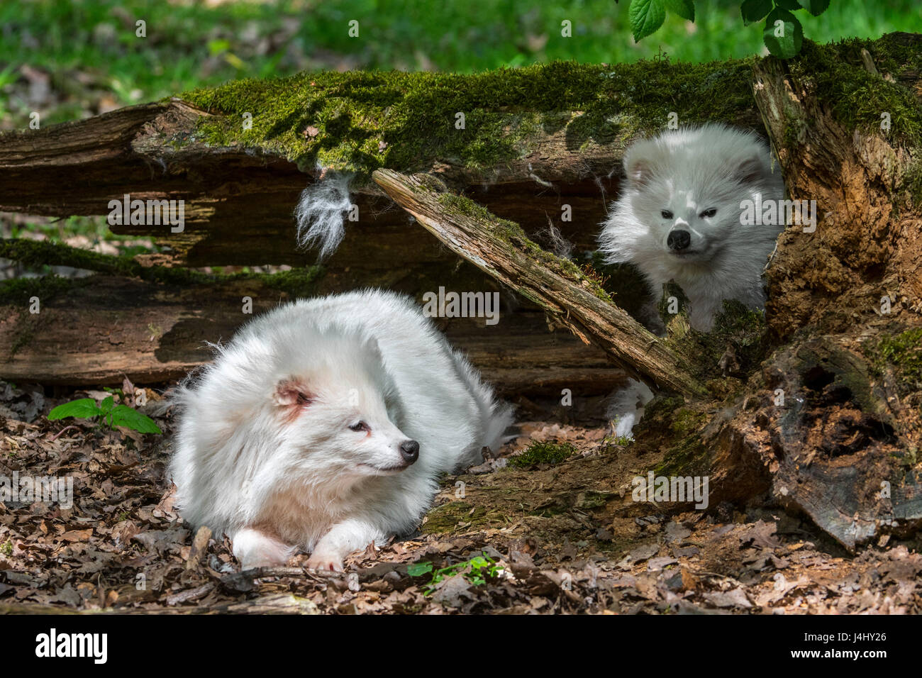 two-white-raccoon-dogs-nyctereutes-procy