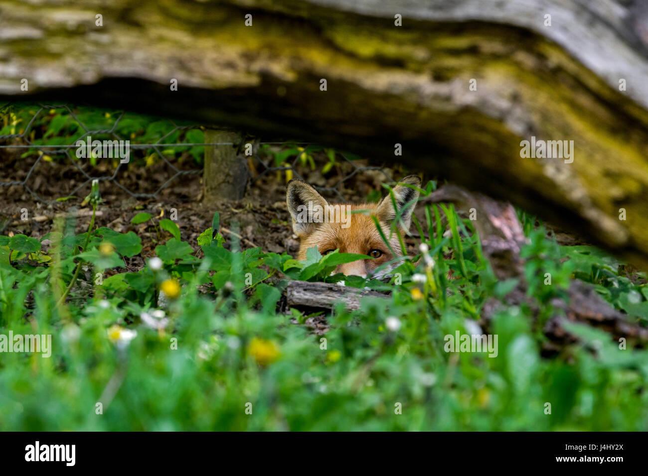 hunting-red-fox-vulpes-vulpes-digging-un