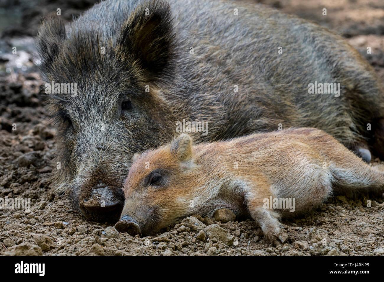 wild-boar-sus-scrofa-sleeping-side-by-si