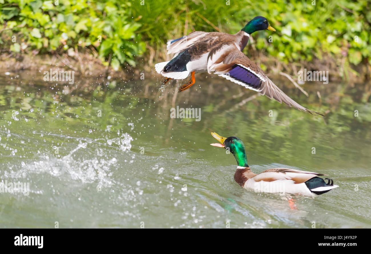 drake-mallard-duck-anas-platyrhynchos-on