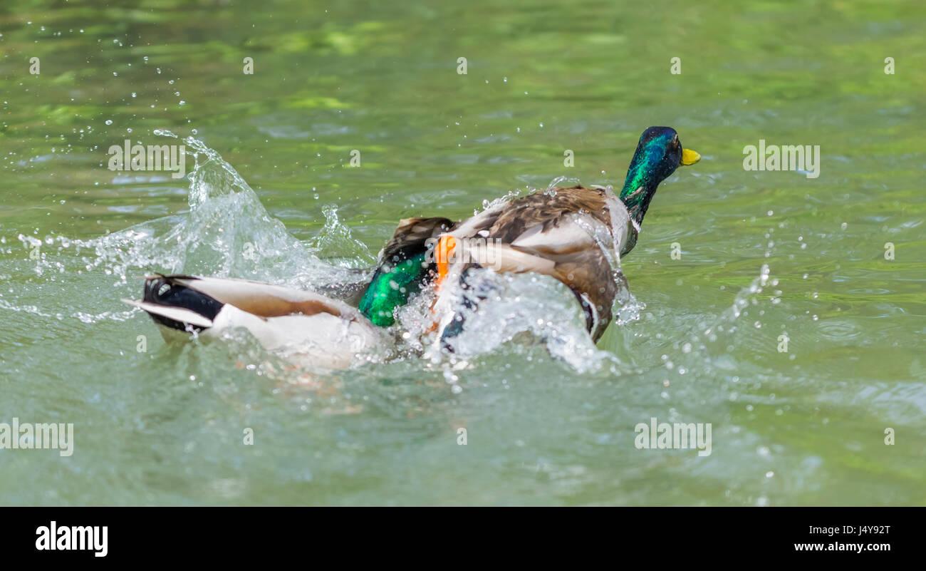pair-of-drake-mallard-ducks-anas-platyrh