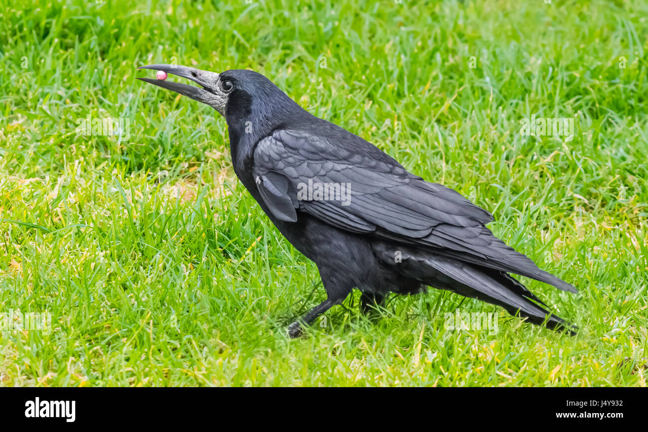 side-view-of-an-adult-rook-corvus-frugil