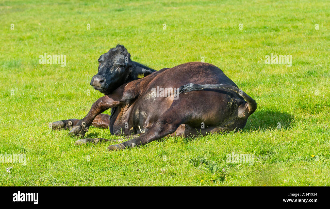 single-cow-laying-on-grass-lazy-concept-