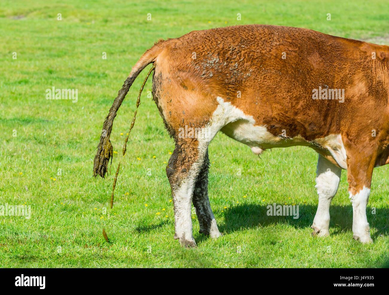 cow-in-a-field-doing-a-poo-J4Y935.jpg