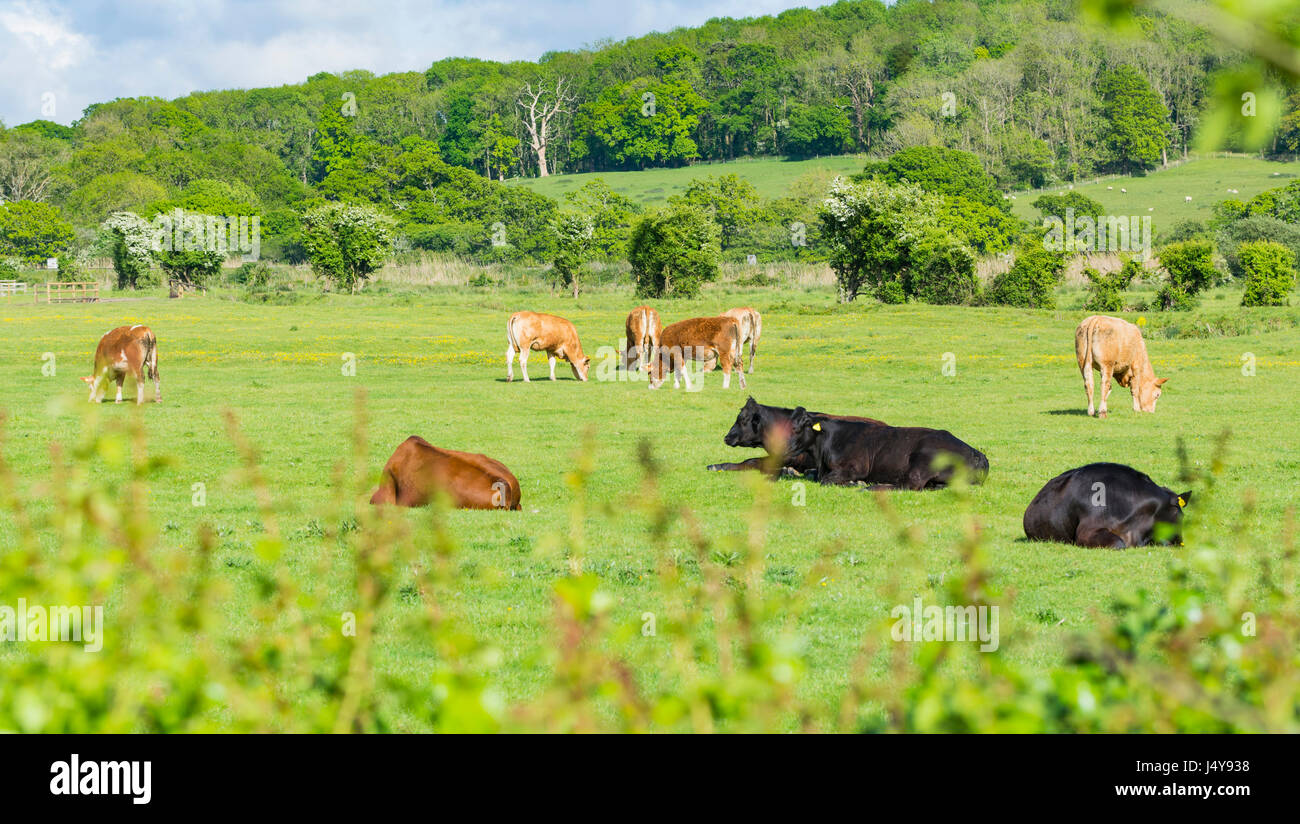 herd-of-cows-sitting-and-grazing-in-late