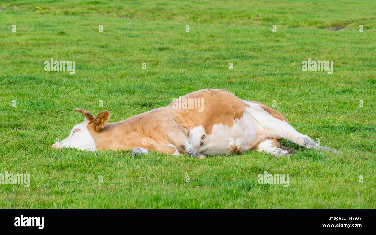 cow-laying-down-having-a-rest-J4Y939.jpg