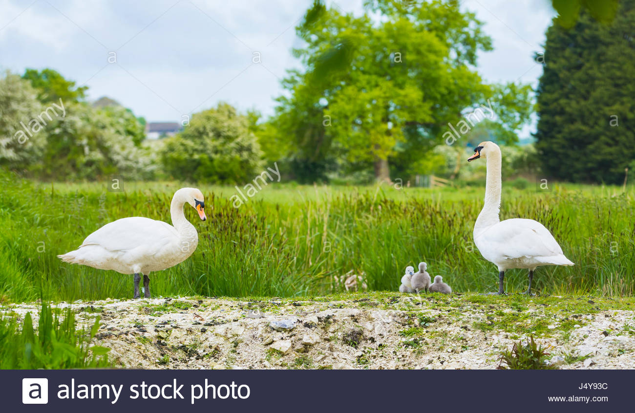 white-mute-swan-cygnus-olorfamily-with-a