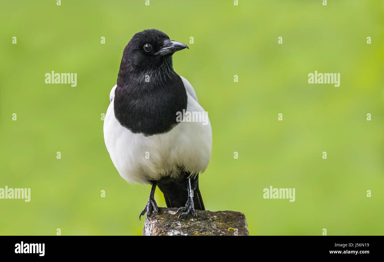 eurasian-magpie-bird-pica-pica-perched-o