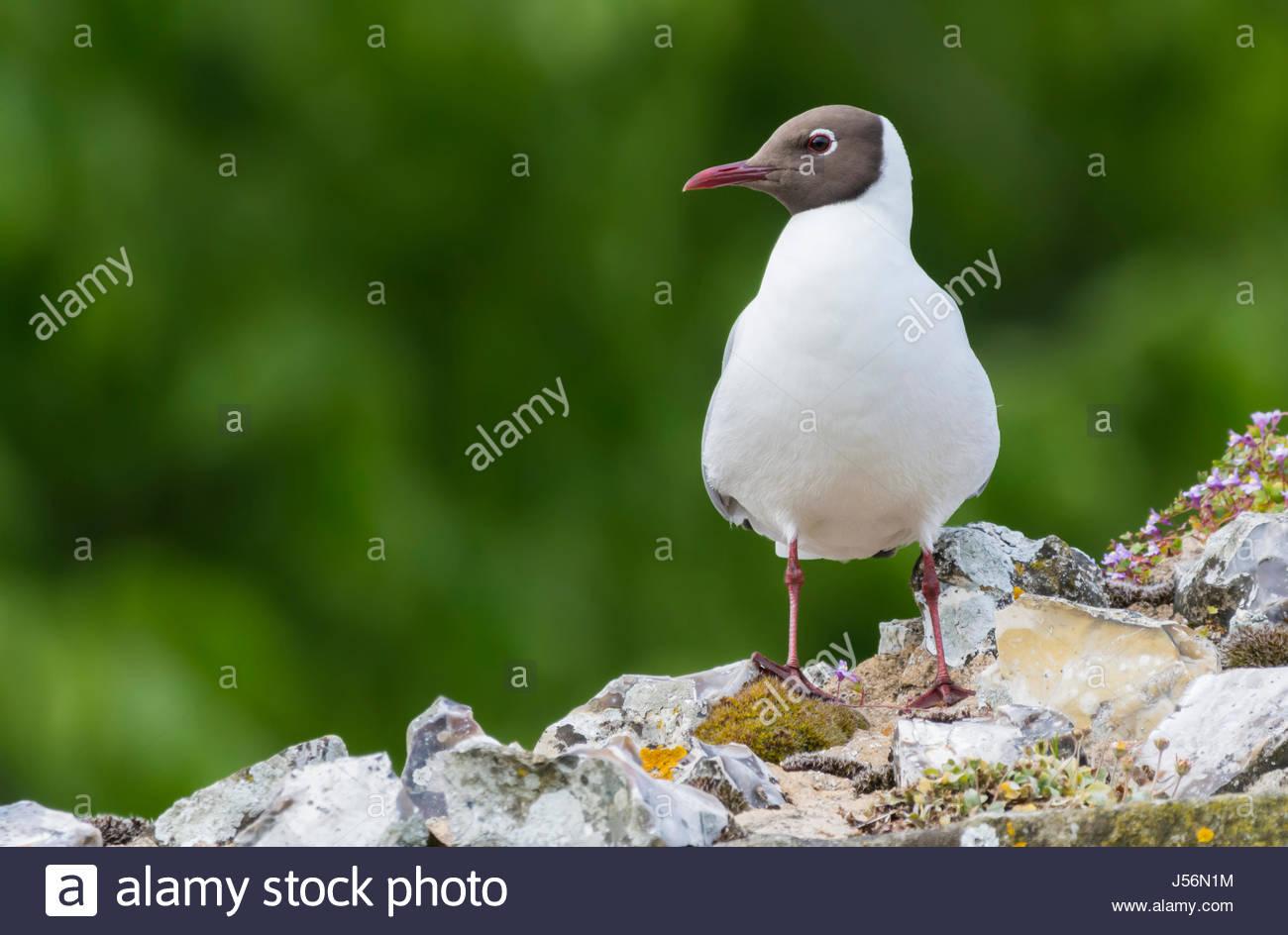 black-headed-gull-chroicocephalus-ridibu