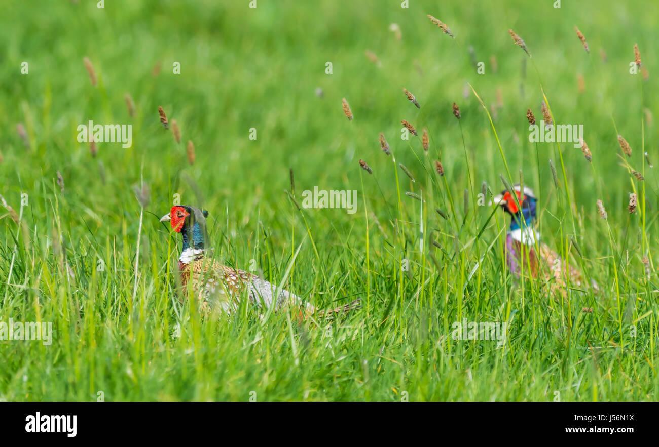 pair-of-adult-male-pheasants-phasianus-c