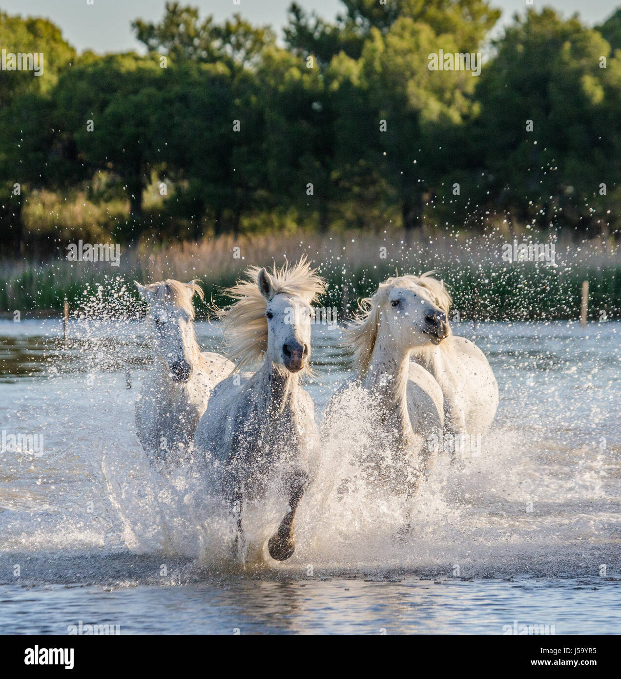 White Camargue Horses run in the swamps nature reserve. Parc Regional de Camargue. France. Provence. An excellent - Stock Image