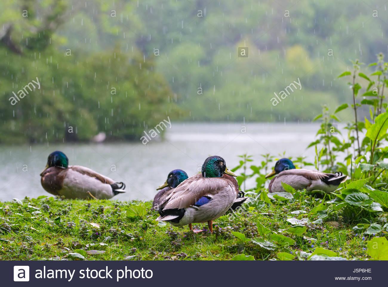 mallard-ducks-sitting-on-a-grass-bank-by