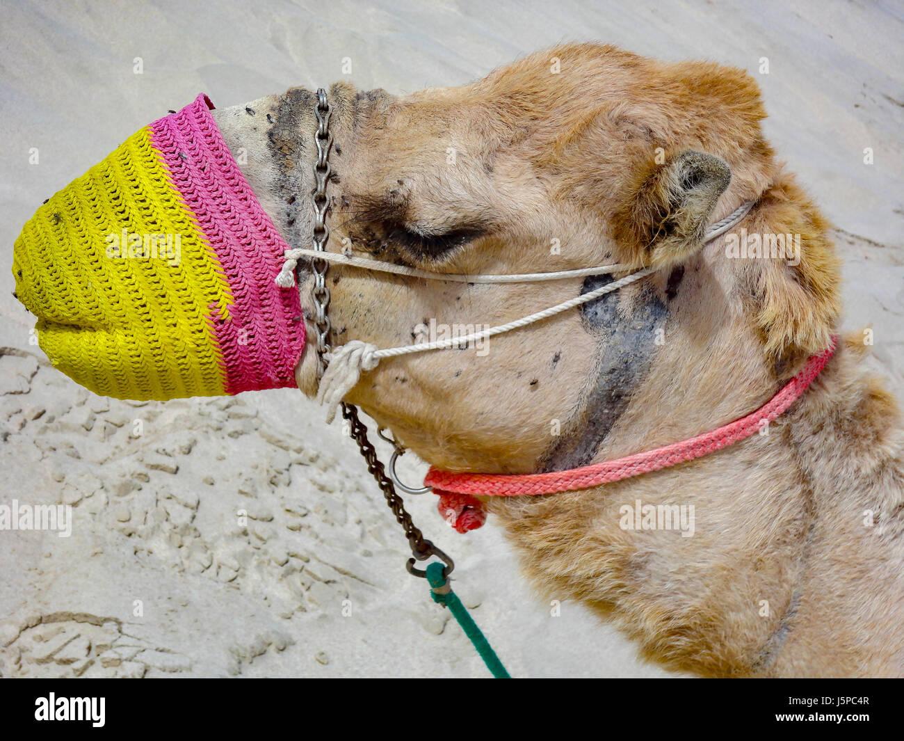 Desert camel Desert camel in Jordan - Stock Image