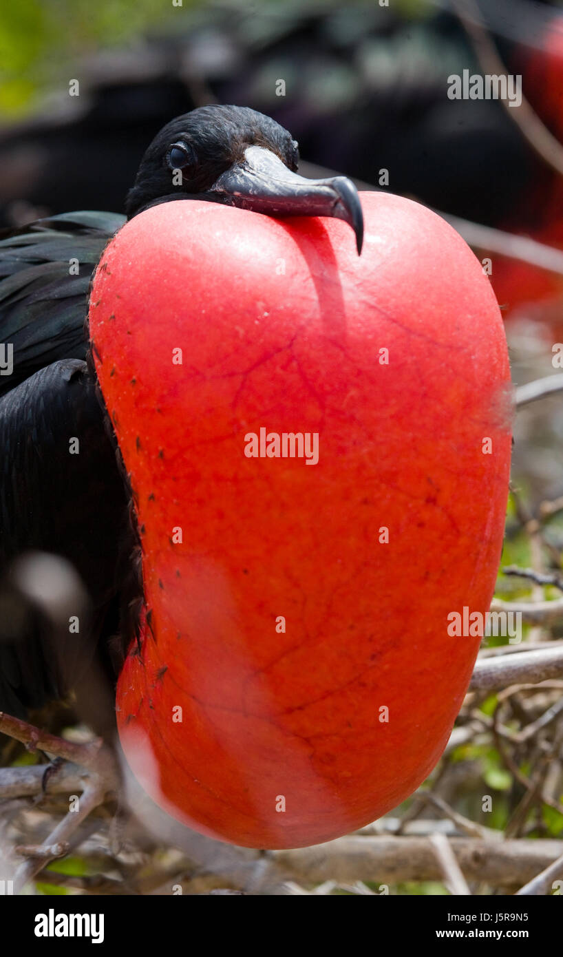 Portrait of Red-bellied frigate. The Galapagos Islands. Birds. Ecuador. An excellent illustration. - Stock Image