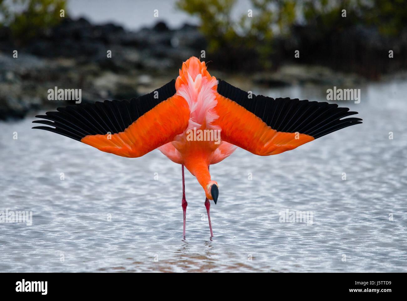 Caribbean flamingos standing in the lagoon. The Galapagos Islands. Birds. Ecuador. An excellent illustration. - Stock Image