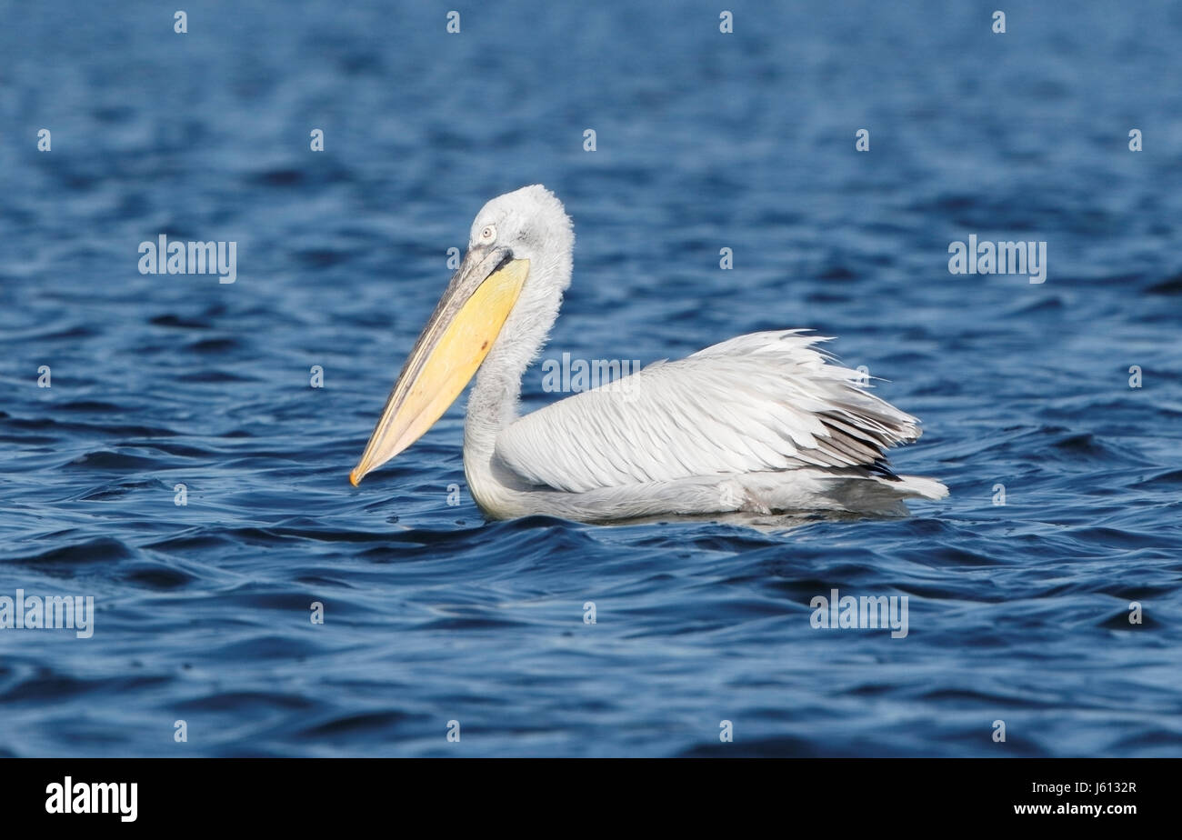 great white pelican (Pelecanus onocrotalus) adult swimming on water on river Danube, Romania - Stock Image