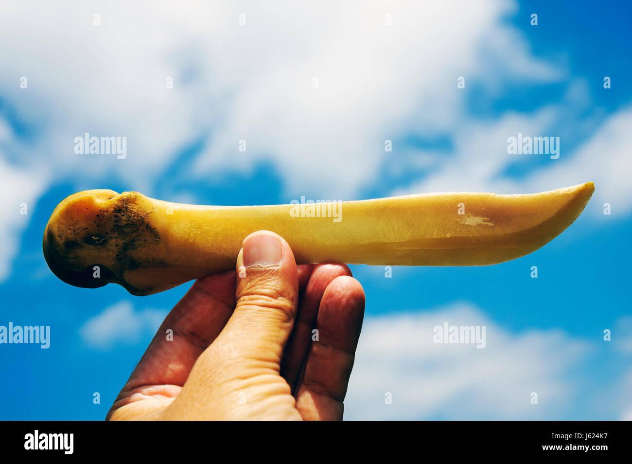 Indiana Valparaiso Wheeler Broken Wagon Bison knife carved bone ranch farm artifact tool implement - Stock Image