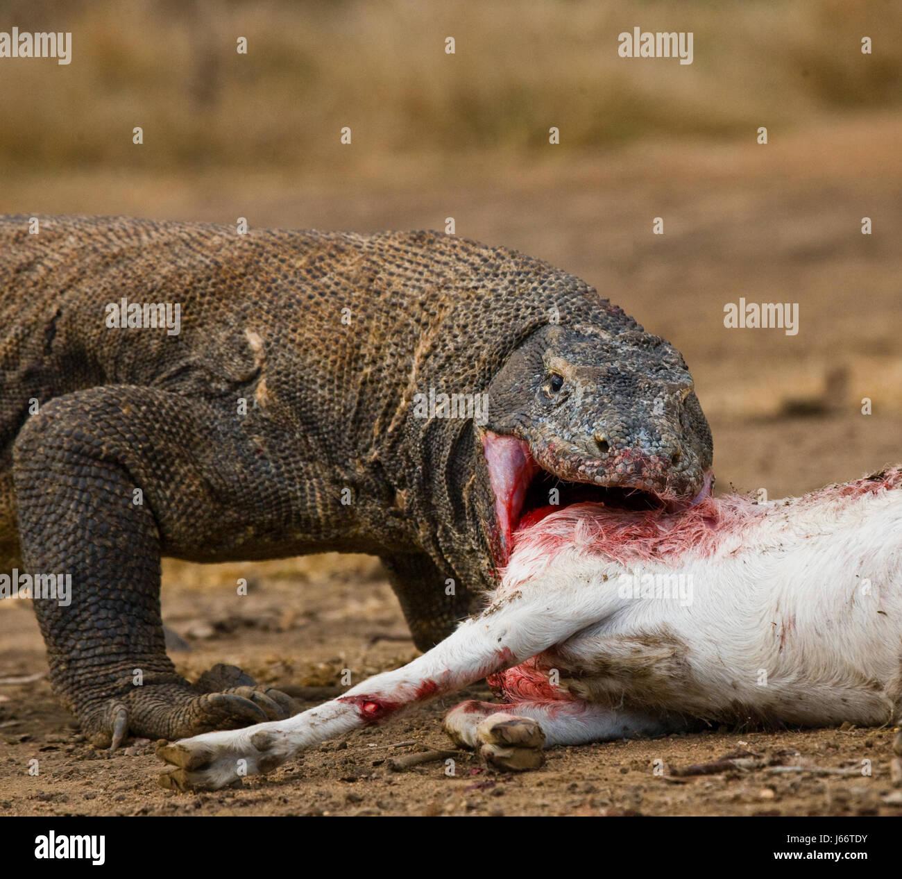 Komodo dragons eat their prey. Indonesia. Komodo National Park. An excellent illustration. - Stock Image