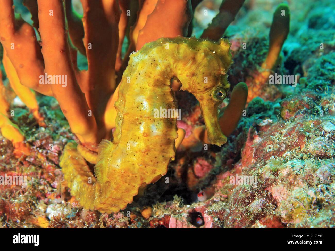 Yellow Pacific Seahorse (Hippocampus ingens). Coiba, Panama - Stock Image