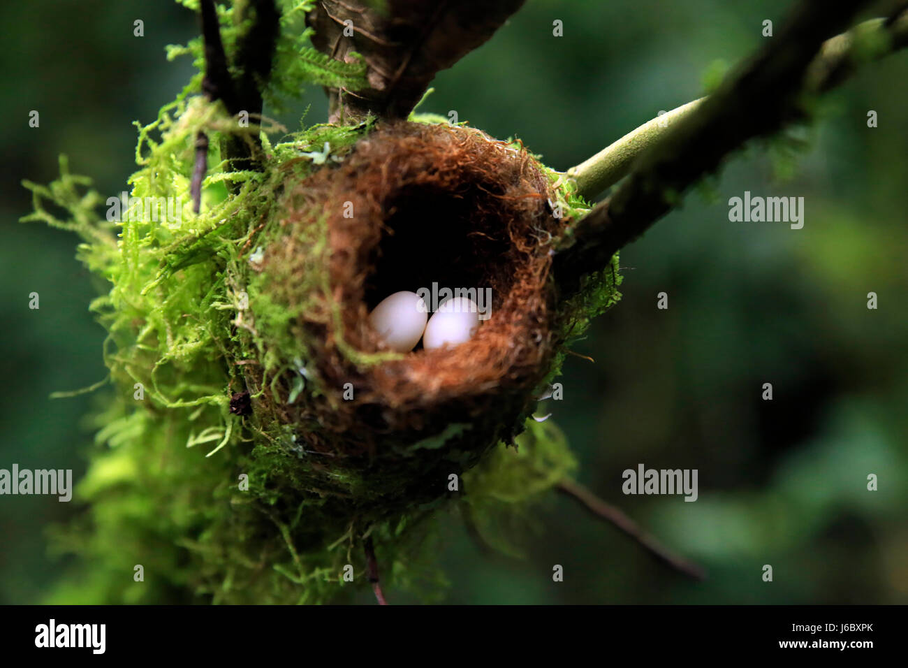 Hummingbird Nest with Eggs, Each about the Size of a Jellybean. Boquete, Panama - Stock Image