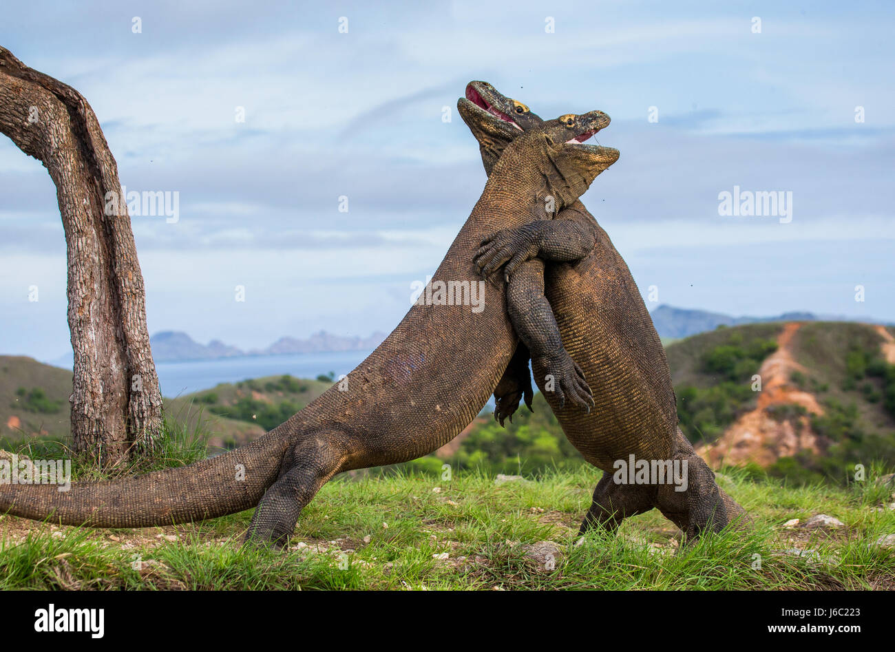 Komodo dragon fighting