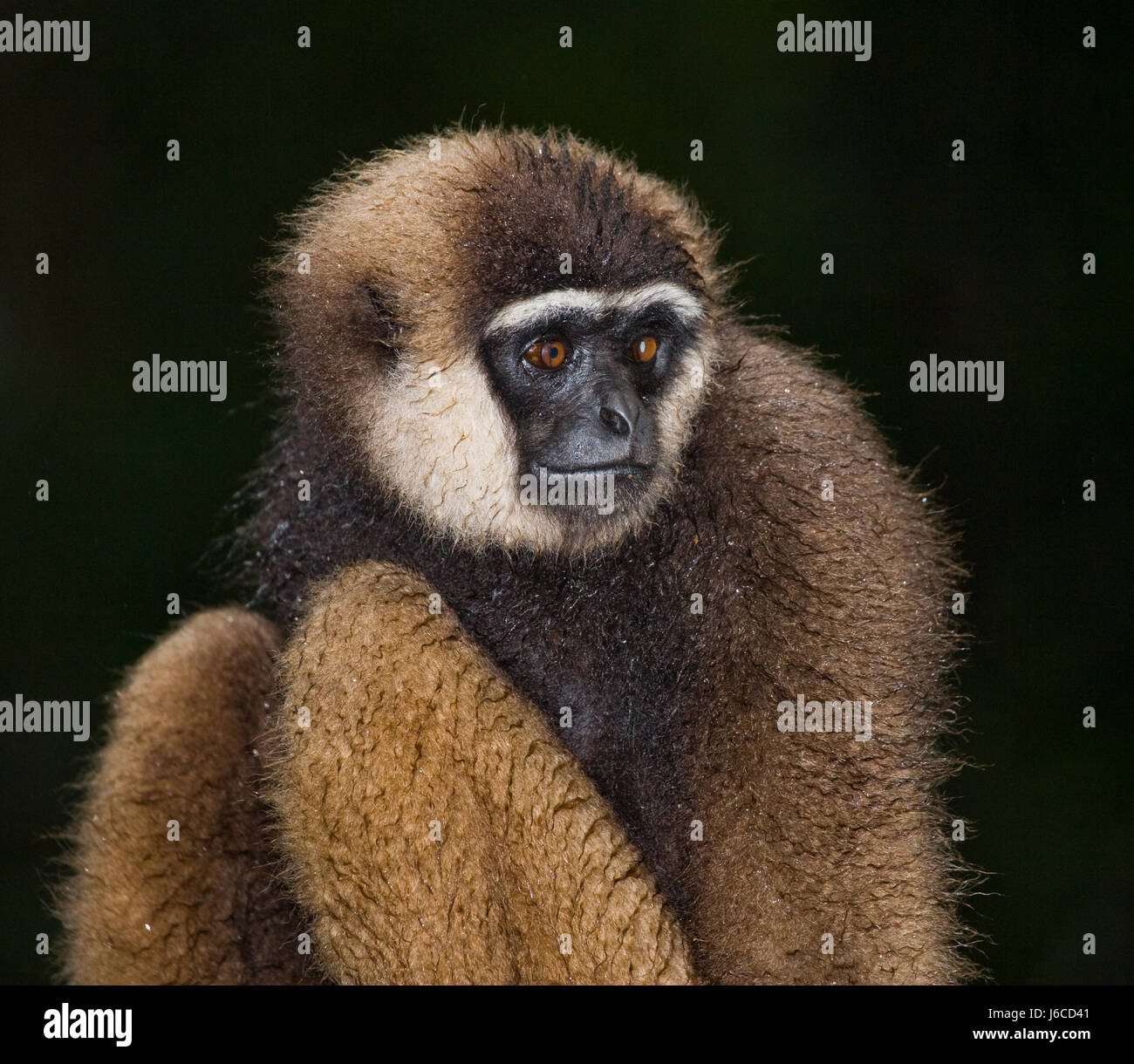 Gibbon sitting on the tree. Indonesia. The island of Kalimantan (Borneo). An excellent illustration. - Stock Image