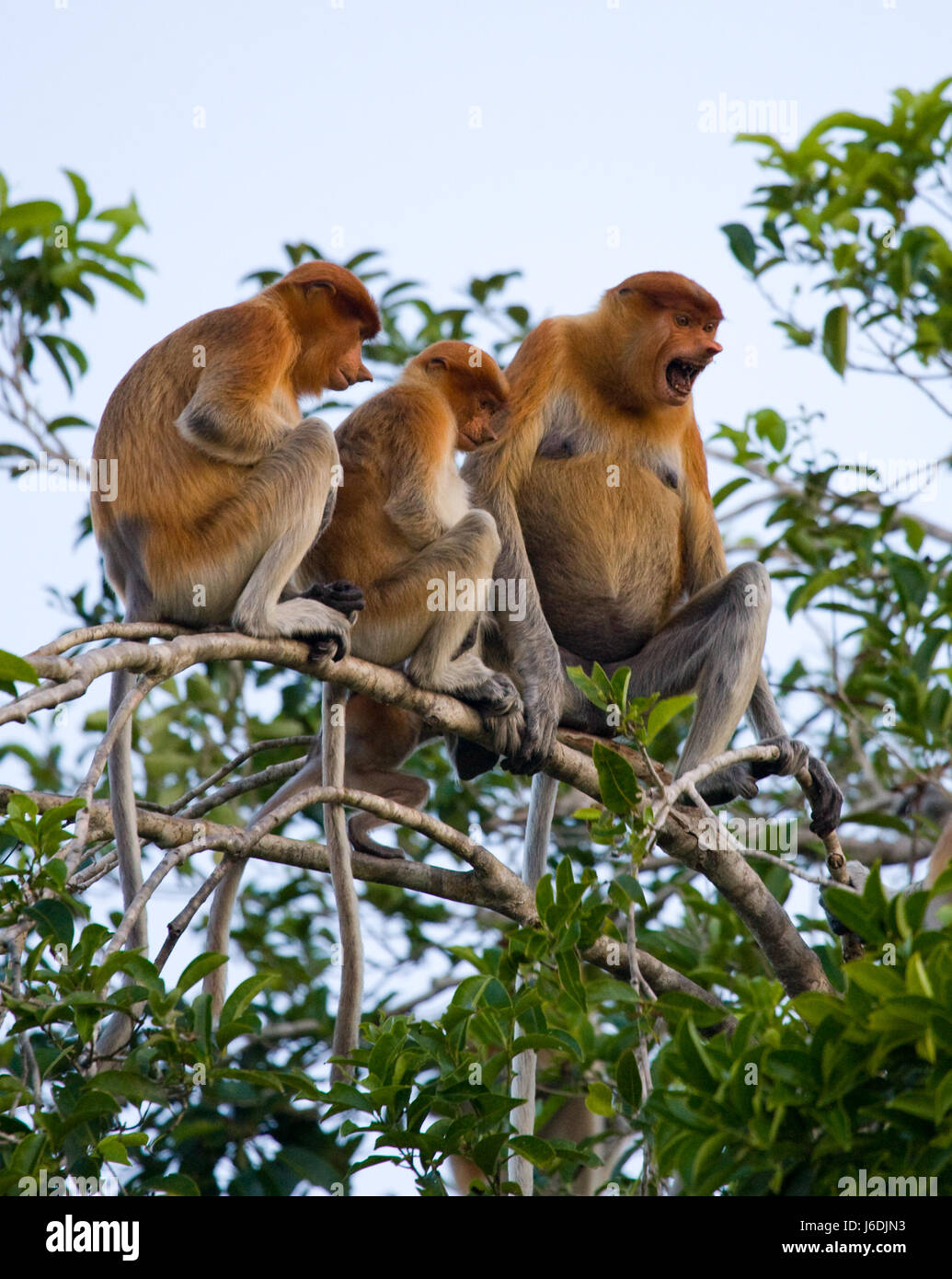 Family of proboscis monkeys sitting in a tree in the jungle. Indonesia. The island of Borneo (Kalimantan). An excellent - Stock Image