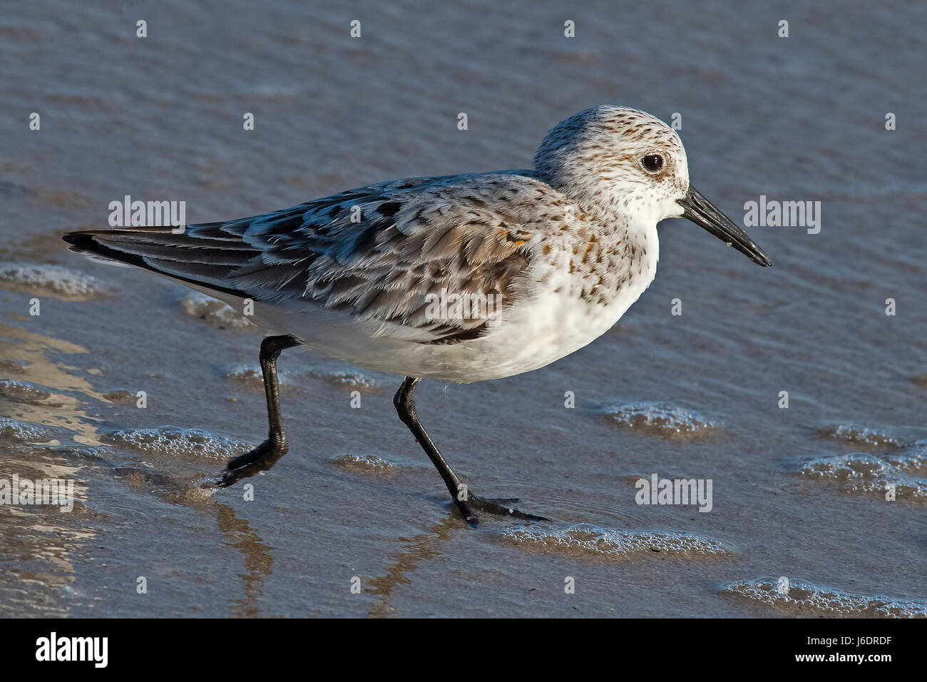 Sanderling - Stock Image