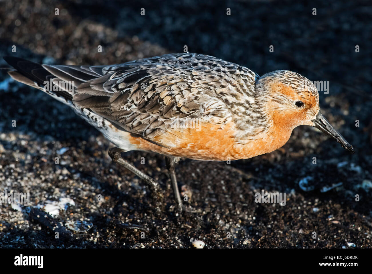 Red Knot - Stock Image