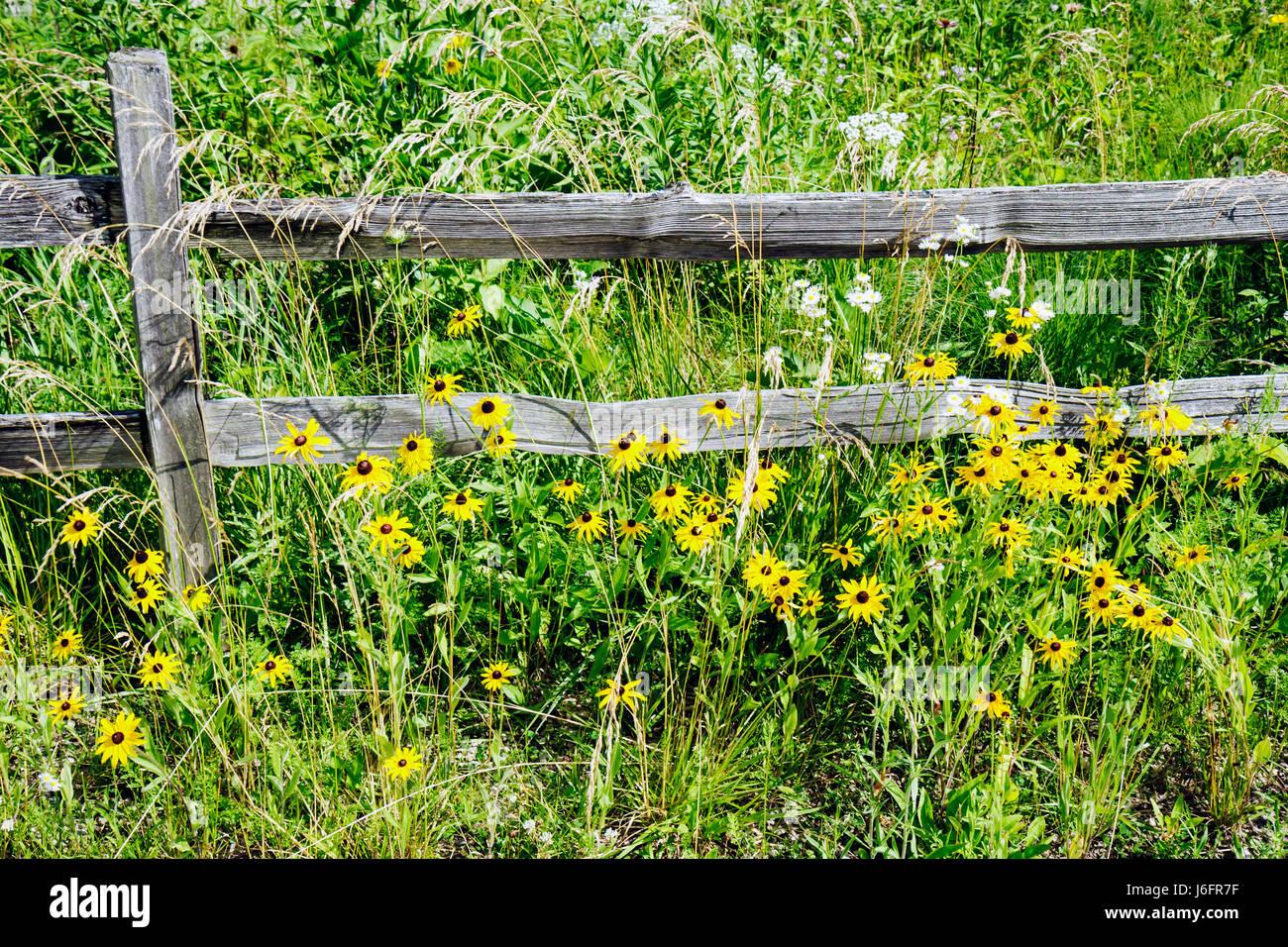 Wisconsin Kenosha Kansasville Richard Bong State Recreation Area prairie flowers yellow park vegetation wood fence - Stock Image